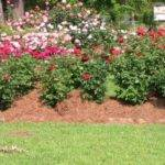 Awesome Roses Gardening Ideas Landscaping