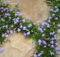 Ground Cover Mazus Reptans Lavender Backyard Makeover Ideas