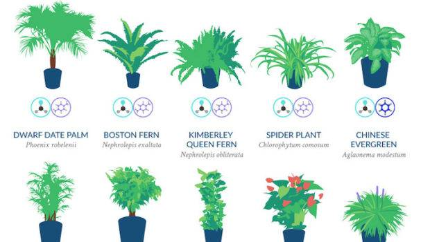 Infographic Top Houseplants Purifying Air