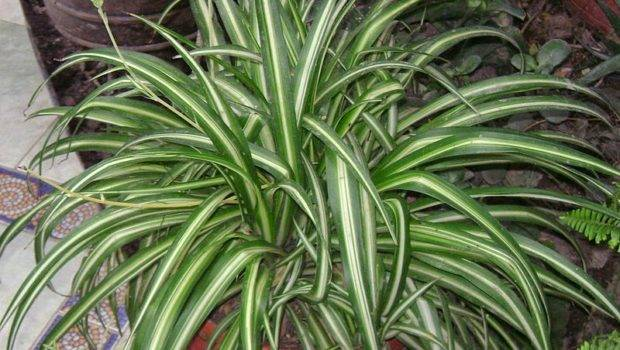 Katussia Indoor Ornamental Plants Air Cleaning