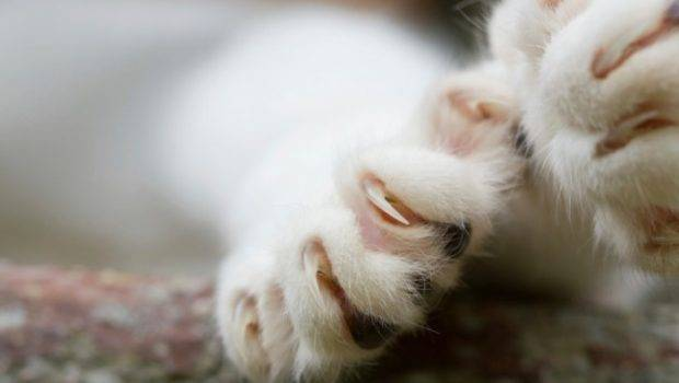 Pros Cons Declawing Your Cat Great Pet Health