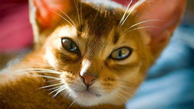 Pros Cons Different Cat Breeds