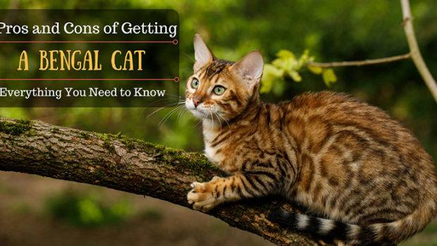 Pros Cons Owning Bengal Cat Easy Home