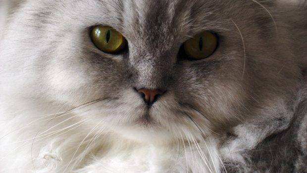 Pros Cons Owning Persian Cat Feline Addiction