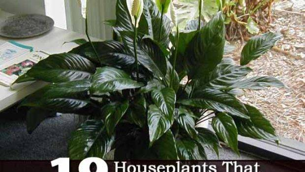 Recommended Indoor Air Cleaning Houseplants